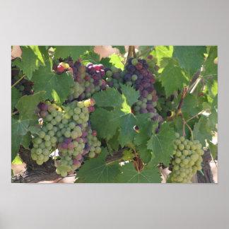 Vinyard Grapes Poster