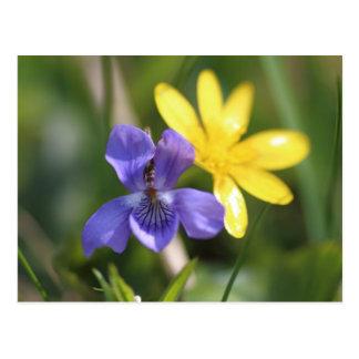 Viola And Ranunculus Postcard