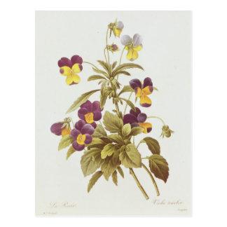 Viola Tricolour Postcard