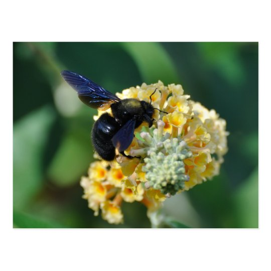 Violet carpenter bee postcard