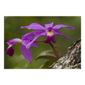 Violet Cattleya Orchid Cattleya violacea) Poster
