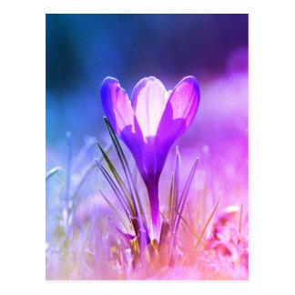 Violet crocus 02.2.F Postcard