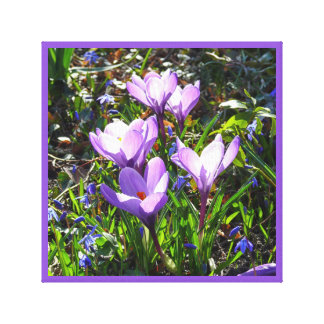 Violet crocuses 02.0, spring greetings canvas print