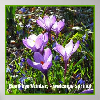 Violet crocuses 4.0.5.T, spring greetings Poster