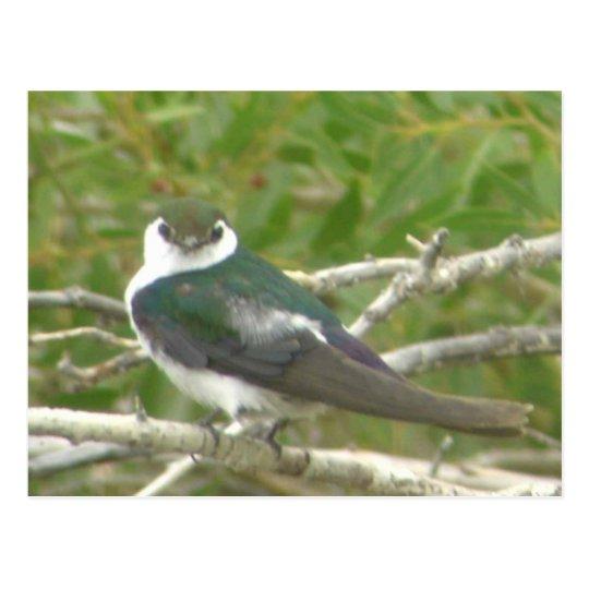 Violet-green Swallow Postcard