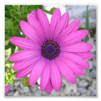 Violet Pink Osteospermum Flower Daisy Art Photo