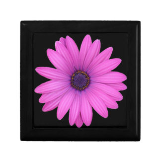 Violet Pink Osteospermum Flower Isolated on Black Gift Box