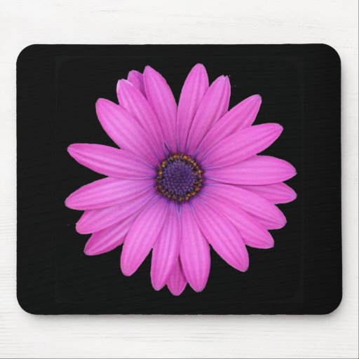 Violet Pink Osteospermum Flower Isolated on Black Mousepads