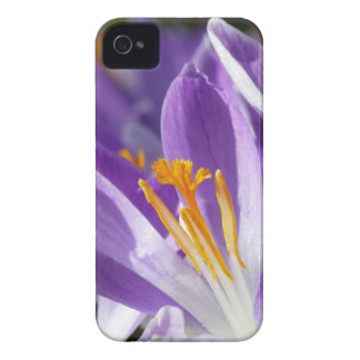 Violet spring crocus iPhone 4 cover