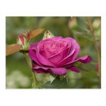 violette Rose Postkarten
