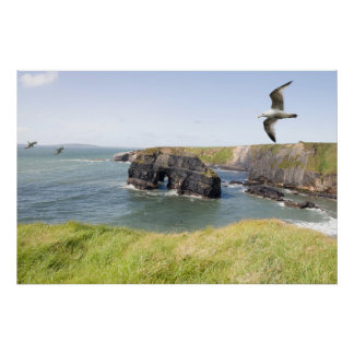 Virgin rock seagulls in an updraught posters