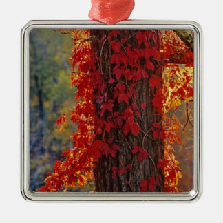 Virginia Creeper bright red in autumn at Christmas Ornament