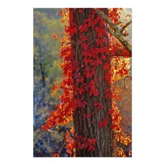Virginia Creeper bright red in autumn at Photo Print