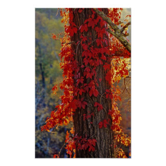 Virginia Creeper bright red in autumn at Poster