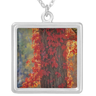Virginia Creeper bright red in autumn at Silver Plated Necklace