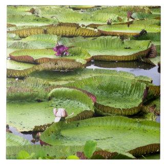 Vitoria Regis, giant water lilies in the Amazon Tile