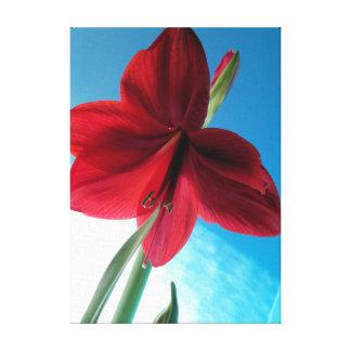 Vivid red Amaryllis flower against a blue wall Canvas Print