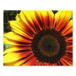 Vivid Sunflower Closeup 10x8