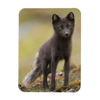 Vixen searches for food rectangular photo magnet
