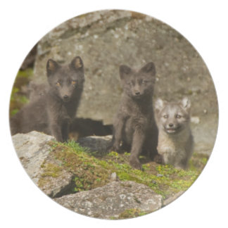 Vixen with kits outside their den plate