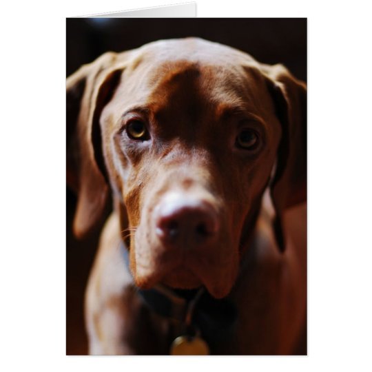 Vizsla - And they call it puppy love