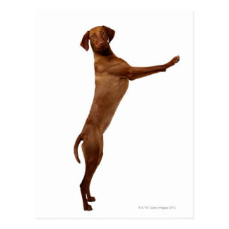 Vizsla Dog Postcard