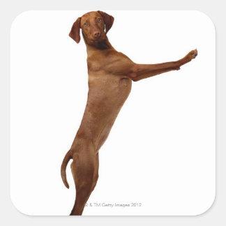 Vizsla Dog Square Sticker