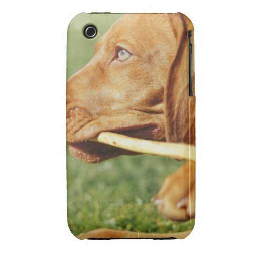 Vizsla puppy in park with stick in mouth, iPhone 3 cases