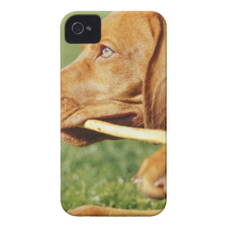 Vizsla puppy in park with stick in mouth, iPhone 4 covers
