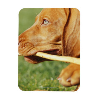 Vizsla puppy in park with stick in mouth, magnet