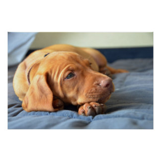 Vizsla Puppy Resting On Its Paw Poster