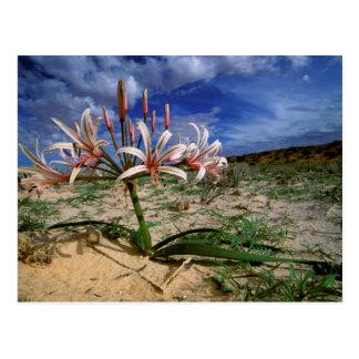Vlei Lily (Nerine Laticoma) In Flower Postcard