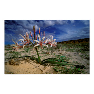 Vlei Lily (Nerine Laticoma) In Flower Poster