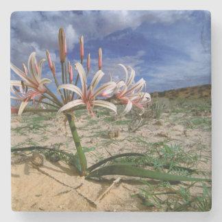 Vlei Lily (Nerine Laticoma) In Flower Stone Coaster