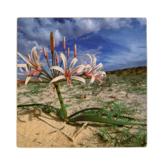 Vlei Lily (Nerine Laticoma) In Flower Wood Coaster