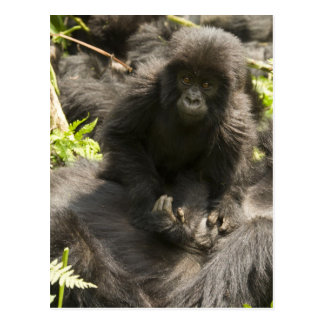 Volcanoes National Park, Mountain Gorilla, baby Postcard