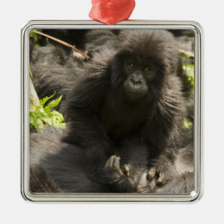Volcanoes National Park, Mountain Gorilla, baby Silver-Colored Square Decoration