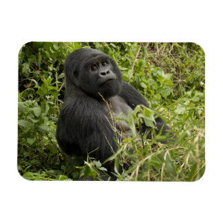 Volcanoes National Park, Mountain Gorilla Magnet