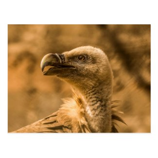 Vulture Postcard