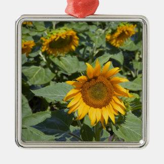 WA, Kittitas County, Sunflower Field 2 Christmas Ornament