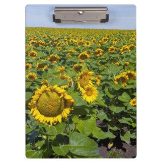 WA, Kittitas County, Sunflower Field Clipboard