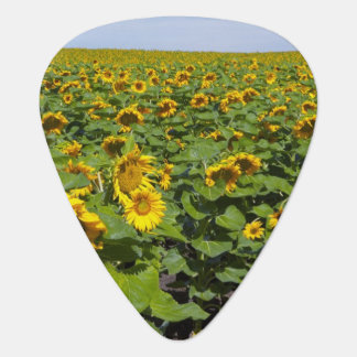 WA, Kittitas County, Sunflower Field Plectrum
