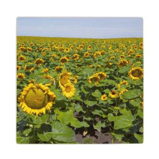WA, Kittitas County, Sunflower Field Wood Coaster