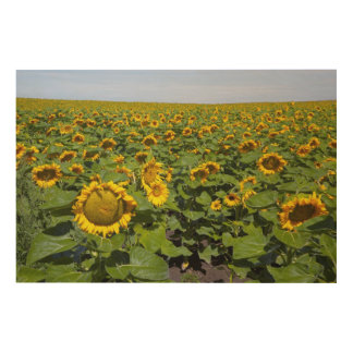 WA, Kittitas County, Sunflower Field Wood Print
