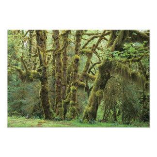 WA, Olympic NP, Hoh Rain Forest, Hall of Photo Print