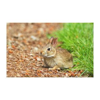 WA, Redmond, Eastern Cottontail baby rabbit Canvas Print
