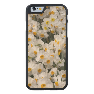 WA, Skagit Valley, Daffodil pattern Carved Maple iPhone 6 Case