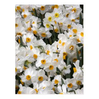 WA, Skagit Valley, Daffodil pattern Postcard