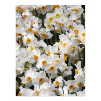 WA, Skagit Valley, Daffodil pattern Postcard