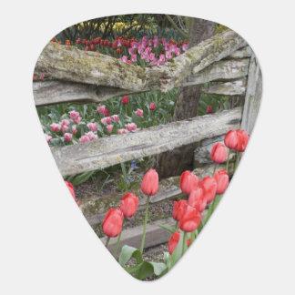 WA, Skagit Valley, Roozengaarde Tulip Garden, Plectrum